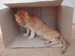 ginger cat with broken legs